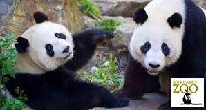 Adelaide Zoo, giant pandas